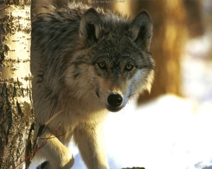 Gray wolf from www.all-about-wolves.com
